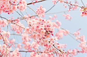 桜の花見は日本の風物詩